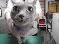 猫 ホテル 猫美容 ゆずちゃん ロシアンブルー