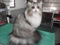 猫 美容 ファンジャ君&ベル君 ペルシャ