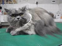 猫美容 ルナちゃん スコティッシュロング