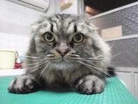 猫 美容 アダム君 スコロング