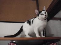 猫カフェ みーこ ユメちゃん