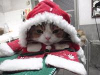 猫 美容 ミュー君 スコティッシュ