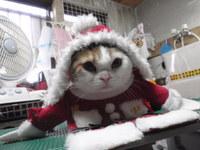 猫 爪切り 猫サンタさん