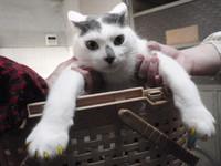 猫 ネイルキャップ グレ君