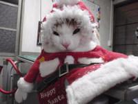 猫 ミニ美容 レオン君 スコティッシュ