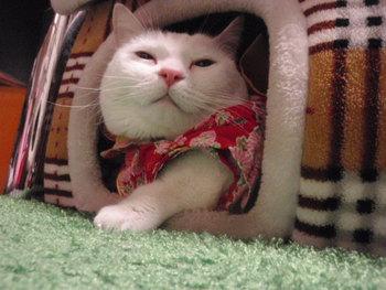 猫 カフェみーこ ちこちゃん 着物