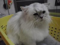 猫美容 ライム君 ペルシャ