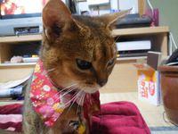 猫 アビシニアン あび母ちゃん 11歳おめでとう