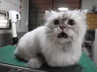 猫美容 チンチラ りゅう君