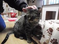 猫 里親体験 11ヶ月のマロちゃん