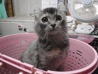 猫爪切り マリちゃん・ジジちゃん アメリカンカール