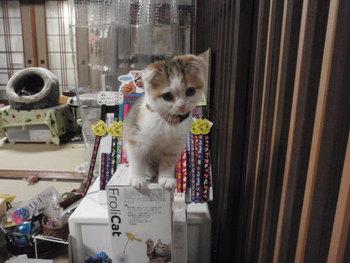 猫カフェ みーこ お雛様 女の子組6猫