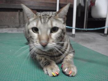 猫 ネイルキャップ ベンガル りんちゃん&ラム君
