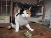 猫ホテル 杏ちゃん 三毛猫