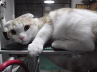 猫美容 スコティッシュ レオン君