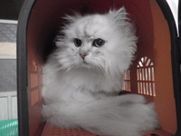 猫 美容 ユメ君 チンチラ