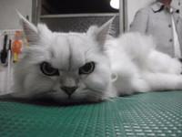 猫 ミニ美容 マカロンちゃん チンチラ