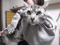 猫 爪切り 茂吉君 アメショー