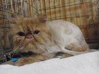 猫美容 ライオンカット エキゾチック グレム君