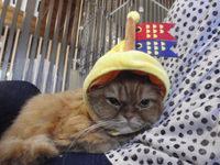 猫 みーこ 鯉のぼり 変身