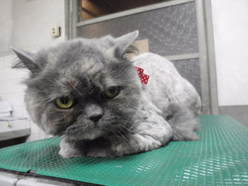 猫 美容 ライオンカット スコティッシュ