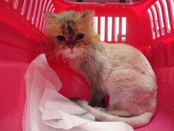 猫美容 ライオンカット ソラ君