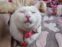 猫 夢空間 気ままなみーこ ちこちゃん マンチカン