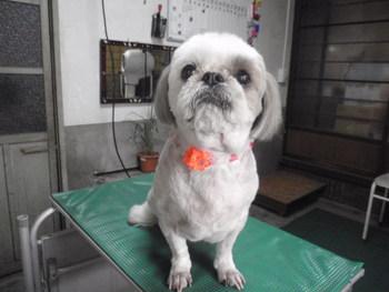 犬美容 ハナちゃん シーズー