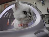 猫 ライオンカット ミミちゃん チンチラ