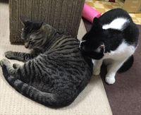 猫 里親体験中 マロちゃん