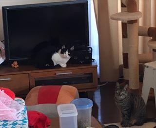 猫 里親決まり マロちゃん こはるちゃん家族