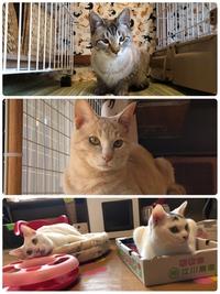 猫ホテルのシャー吉君と里親募集の猫たち