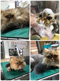 猫美容 猫ライオンカット