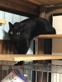 #猫カフェ#黒猫  アブリル君