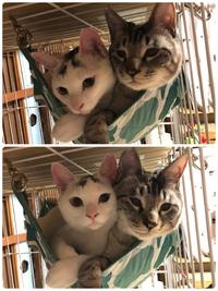 猫里親募集ラブラブのりちゃん&シャム男