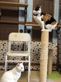 和歌山市猫カフェみーこの猫ホテルは年中無休 杏ちゃん シャーキチ