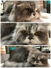 猫美容 ゴージャスなベル君