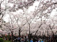 和歌山城でお花見 2017/04/09 17:58:48