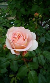 薔薇が咲いてきた