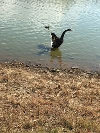 珍しい黒鳥
