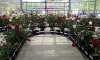四季の郷  薔薇