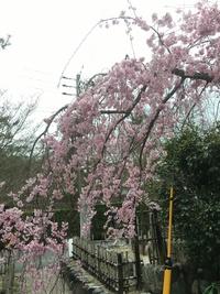 お花見に嵐山へ〜