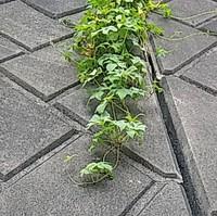 つるの植物