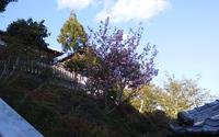 今年は葉桜でした…