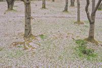 a carpet of flower petals