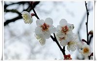 【梅の花】四季折々のお便り