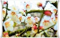 【梅の花】きっと繊細だったりする 2010/02/15 22:51:35