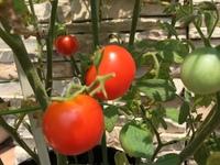 ミニトマト。