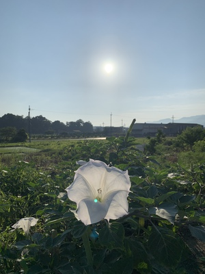 曼荼羅花(まんだらげ)