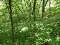 葛城山のブナ林